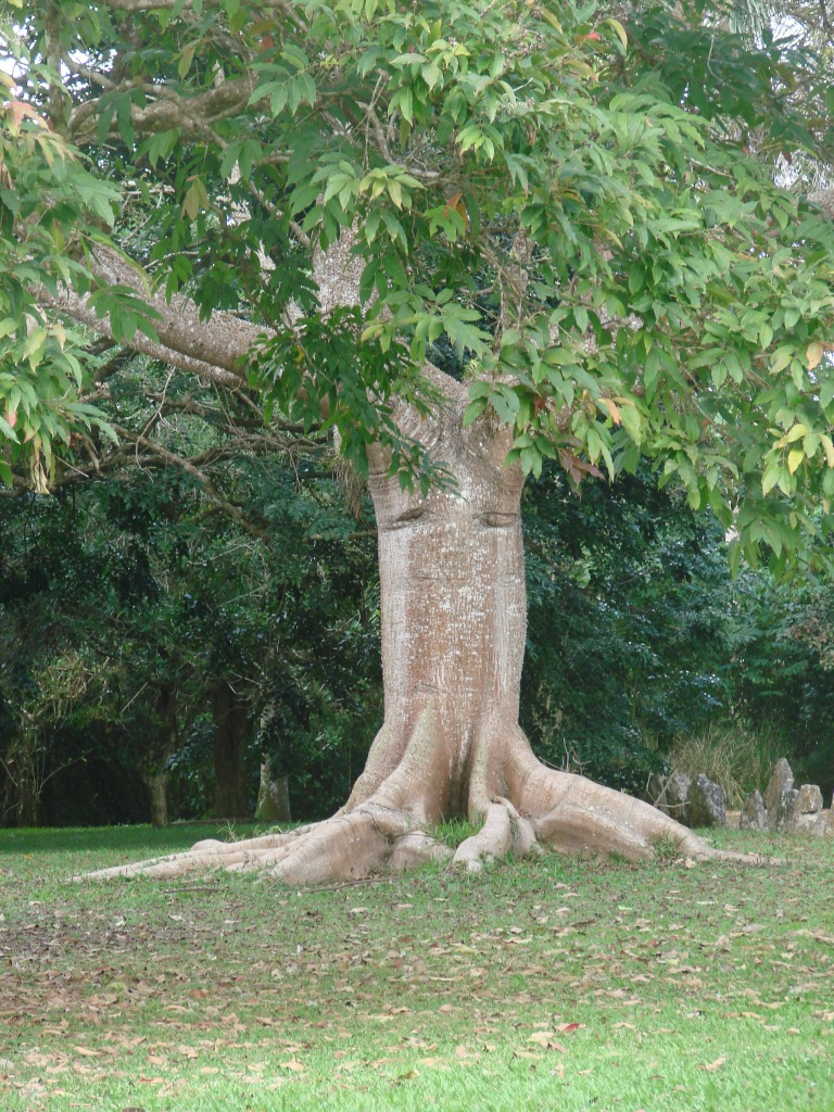 ceiba tree, Tainos used it to make canoes