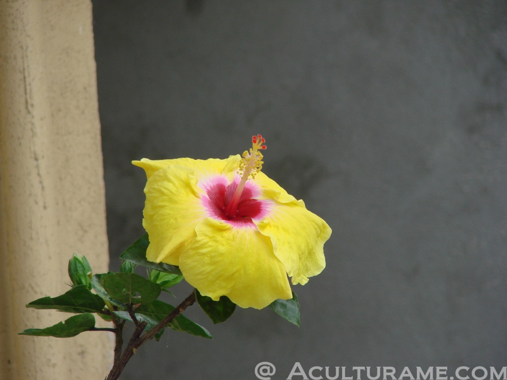 yellow hibiscus flower endemic to Xilitla
